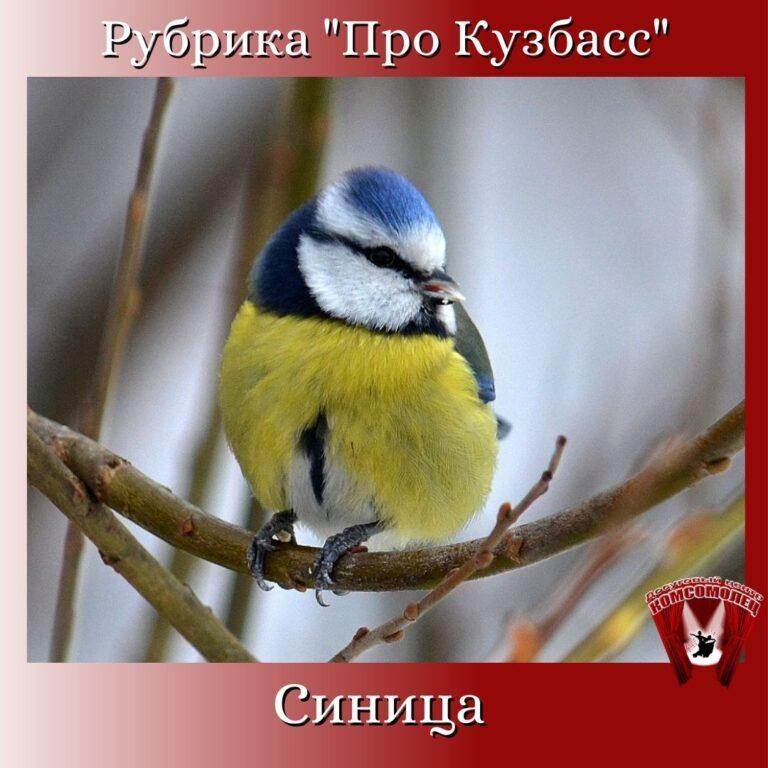 Онлайн рубрика «Про Кузбасс»/ Птицы Кузбасса. Синица.