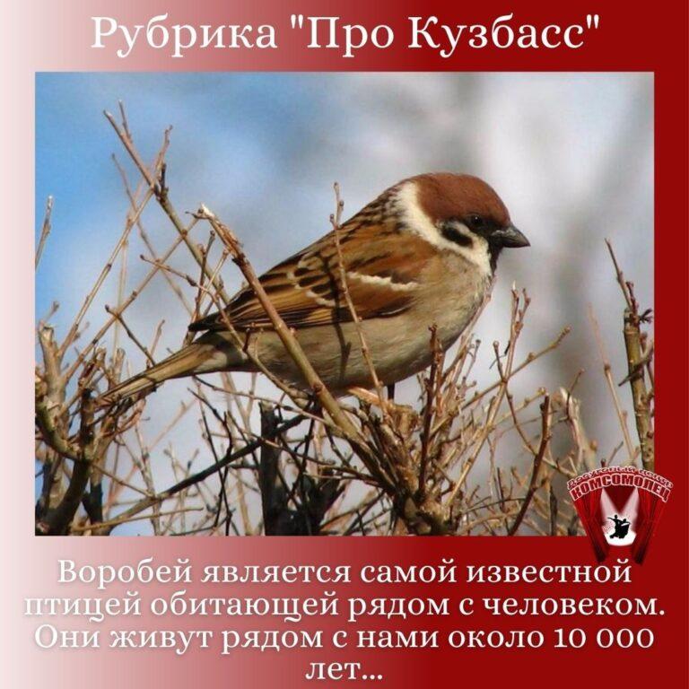Онлайн рубрика «Про Кузбасс»/ Птицы Кузбасса. Воробей.