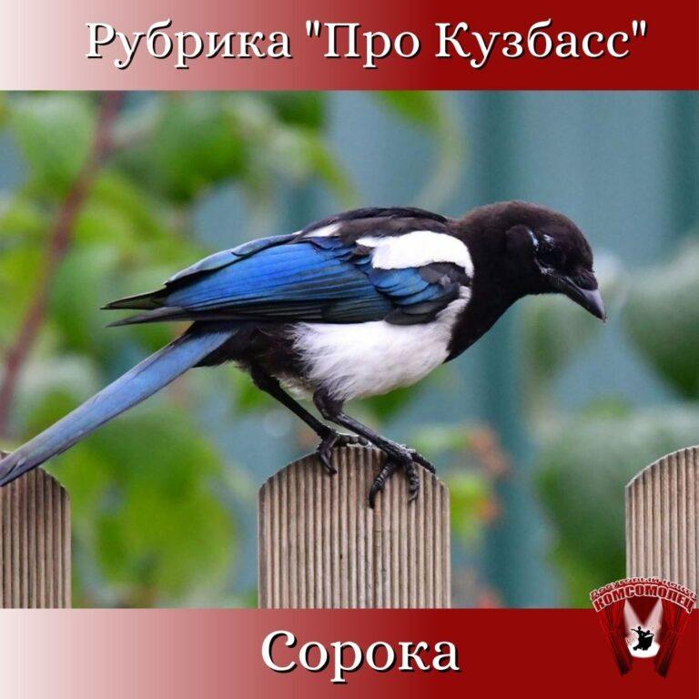 Онлайн рубрика «Про Кузбасс»/ Птицы Кузбасса. Сорока.